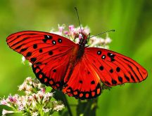 Big red butterfly on flowers - HD wallpaper