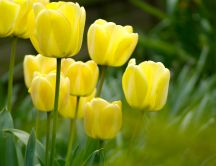 Yellow tulips in the garden - HD wallpaper