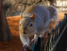 Big funny squirrel on a fence in park