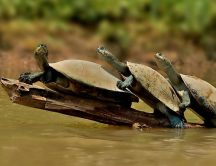 A family of turtles in the water - funny HD wallpaper