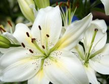 Beautiful white flower - Imperial Lily - macro HD wallpaper