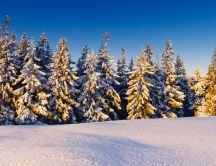 White pine forest - shiny snow
