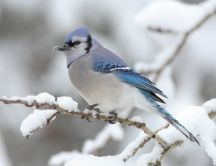 Little blue bird on a branch - cold winter time