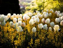 Beautiful white tulips in the garden - HD wallpaper