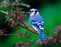Little blue bird - beautiful HD wallpaper
