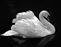 Beautiful white swan in a dark room - HD wallpaper