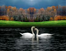 Two lovely white swans on the lake - HD nature wallpaper