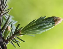 Beautiful sprig of fir - HD macro nature wallpaper