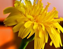 Yellow flower - macro HD wallpaper