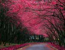 Pink flowers over a path in the park - HD wallpaper