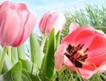 Beautiful spring paining - perfect pink tulips