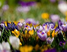 Yellow and purple spring flowers - beautiful nature
