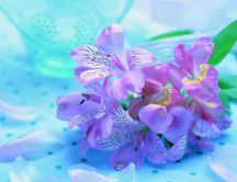 Delicate spring flower on a blue velvet - HD wallpaper