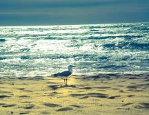 A seagull on golden sand early in the morning - HD wallpaper
