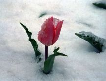 Frozen red tulip - winter in the middle of spring