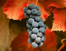 The autumn fruit - delicious grape