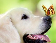 Beautiful butterfly sit on the nose of a sweet labrador dog