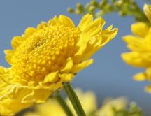 Beautiful yellow flower - Macro HD wallpaper