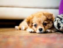 Little puppy on the floor - HD wallpaper