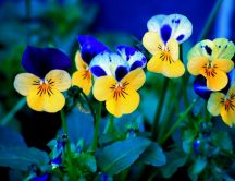 Blue and yellow beautiful petunias - HD wallpapers