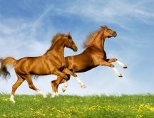 Two beautiful brown horses run in the nature