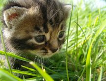 Sweet baby cat hunting in the grass
