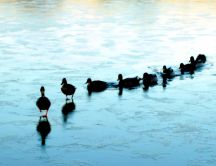 Ducks dancing on the frozen lake