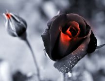 Black and red rose - wonderful romantic flower