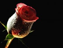 Red rose in a dark room - HD free wallpaper