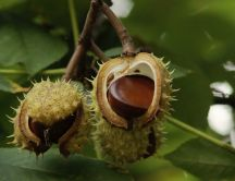 Chestnuts shell - nature and fruits