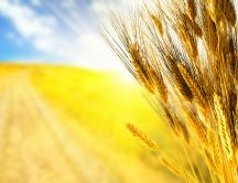 Golden wheat field -  Beautiful HD wallpaper