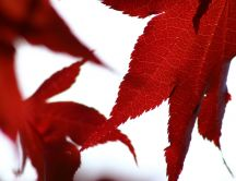 Beautiful red leaves on a white background