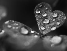 Big water drops on the heart leaf - Grey HD wallpaper