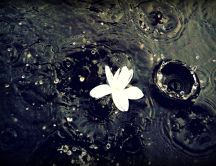 Beautiful white flower in the rain - big water drops