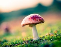 Poison mushroom in the nature - HD macro wallpaper