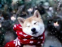 Beautiful and funny husky in the winter time