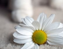 White daisy on the floor - HD flower wallpaper
