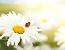 Ladybug and the beautiful white flower - Spring season