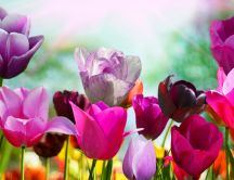 Pink and Purple tulips - beautiful flowers in the garden