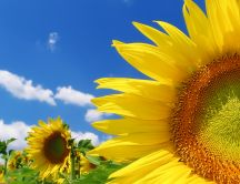 Golden sunflower in a beautiful summer day