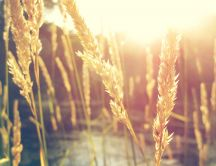 Wheat in the sunshine - HD wallpaper