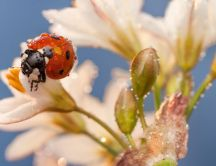 Sweet and small ladybird on the white flowers