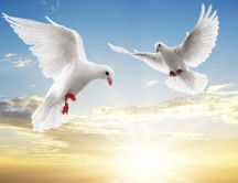 Two white pigeons fly together in a clear day