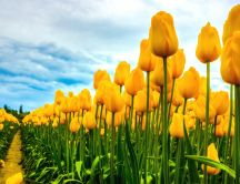 A field with the yellow tulips - Beautiful flowers