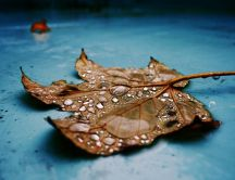 A dry leaf with raindrops fallen down