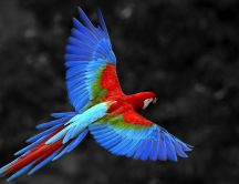 Colorful parrot flying - Bird wallpaper