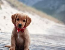 A cute brown puppy with red scarf