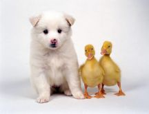 A white puppy and two chicken duck - Cute animals
