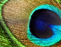 Macro peacock feather - wonderful wallpaper