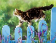A brown cat walks on a blue fence - Animal wallpaper